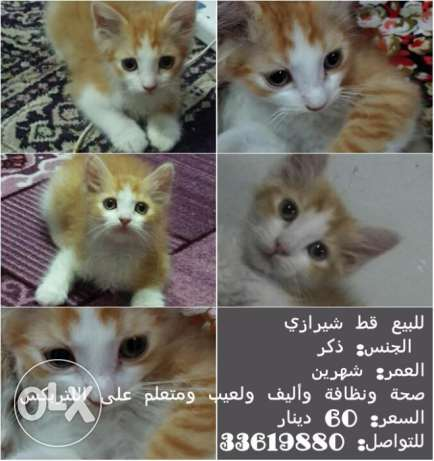 للبيع قط شيرازي Shirazi (Persian) cat for sale