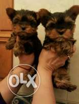 Mini Yorkshire Terrier available in Bahrain