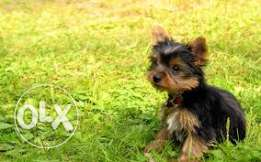 gorgeous , playful , tea cup size yorkshire terrier