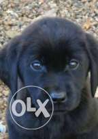 Pure breed black Labrador for sale 2 months old with pedigree and vac