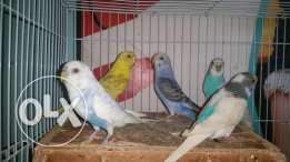 Budge love birds for sale
