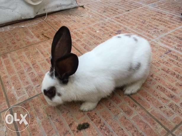 For sale holland rabbit