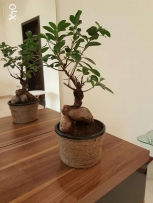 Original plants bonsai