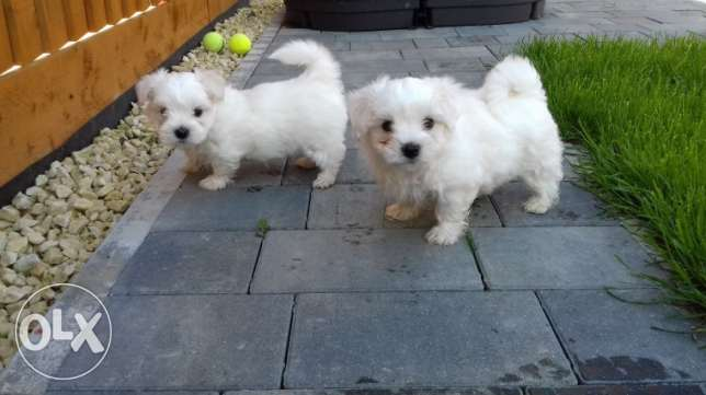 Two Maltese Puppies For Re-homing