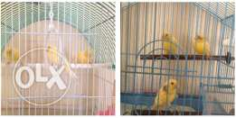 For sale canary birds