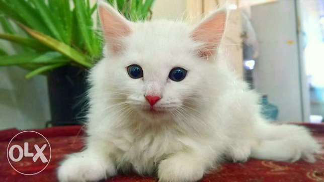Urgent sale persian kitten 2 months old