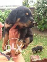 Rottweiler looking for good family