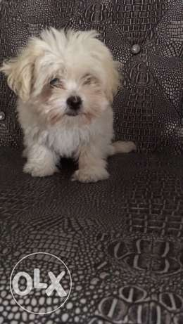 maltese 2 months old male