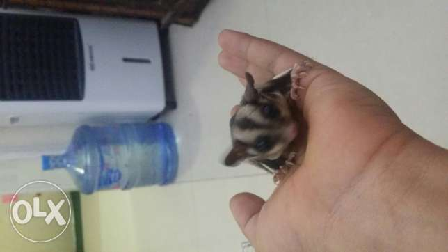 Suger glider for sale