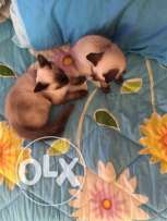 cats for sale female and male