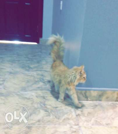 Persian cats for sale توبلي -  3