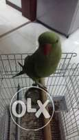 Green Parrot for Sale