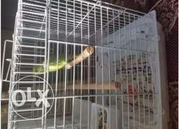 Red neck Green parrot mitto for sale