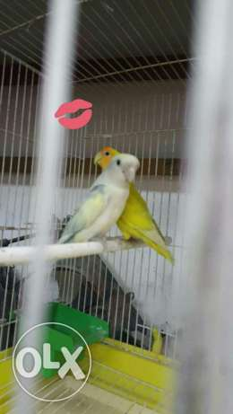 Love bird pair for sale