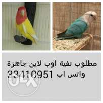 مطلوب نثبه لاف بيرد Wanted Female Love Bird