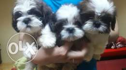 7 weeks old pure shihtzu puppies