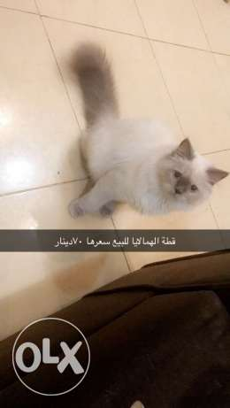himalayan cat gray face 7 months old Trained and healthy
