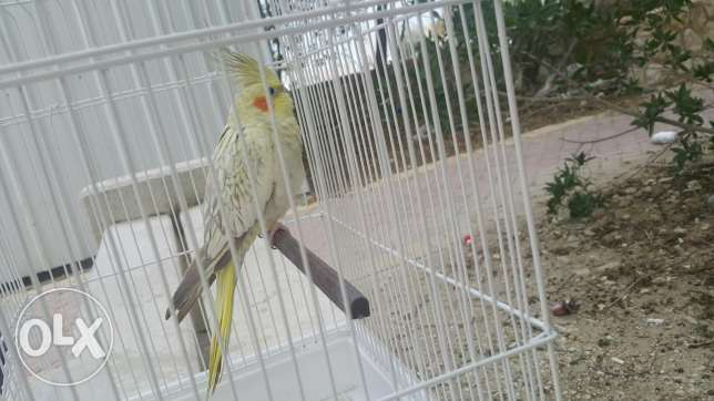bird كوكتيل for sale