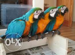 Hand Reared, Super Cuddly Tame, Baby Macaw