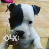 Americanbully XL Puppy