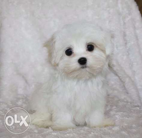Cute Maltipoo Puppy Available