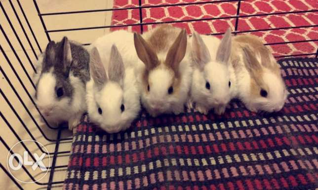Cat fur Bunnies for Sale