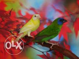 Show Quality Gouldian and Parrot Finches