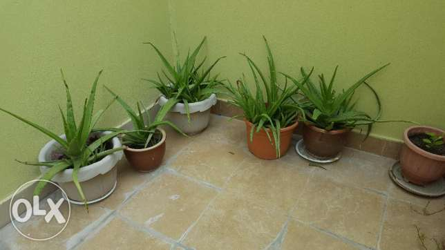 Aloevera plants for urgent sale