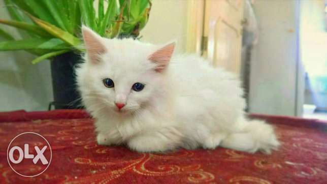 Urgent sale persian kittem