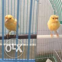 Selling female and male canary