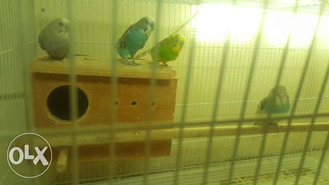 Birds for Sale (budgies)