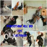 Pakistani aseel family for sale