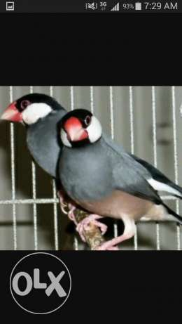 Java and cebra finch