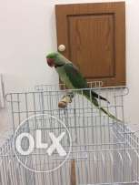 Well trained Alexandrine parakeet (Nepali Parrot) for sale