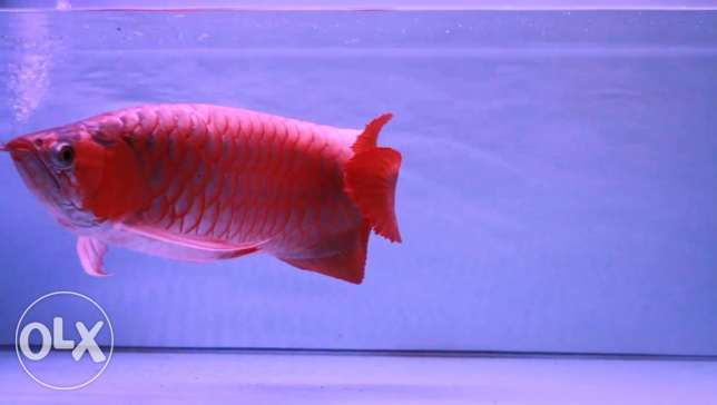 arowana fish and sting rays, flowerhorn