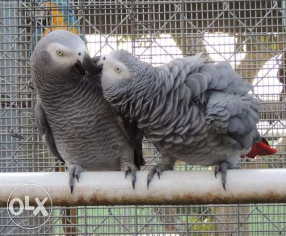 African grey Parriots for Adoption