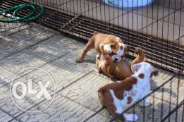 Beautiful Puppies Sired By Croftthorn Stud Dogs for adoption
