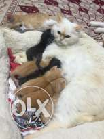 6 kitten with their mother for sale