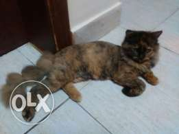 Beautiful persian cat for sale