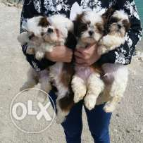 2 months old pure shihtzu puppies