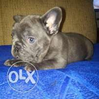 French blue bulldog for sale !