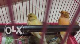For sale canary