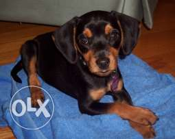 Beautiful Doxi - Pin cross - breed dog for adoption ( free )