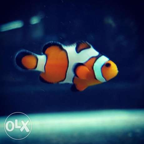 Regular Clownfish & Designer Clownfish