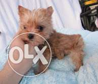 charming doll maltes puppy for sale
