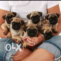 lovely looking , pure German pug puppies , born in Bahrain