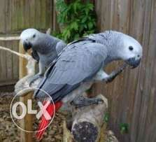 Twin African Grey parrot for sale