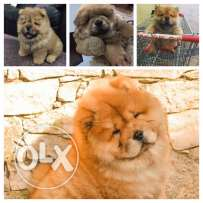 For sale chow chow ( male )