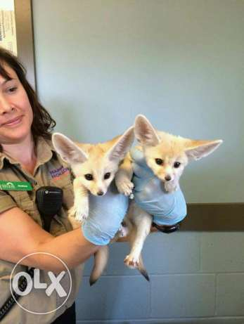 Male and female fennec foxes available
