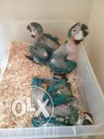 Hand Reared Baby Macaw Parrots 2 Available
